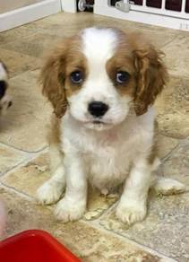 Nice Cavalier King Charles puppies ready now
