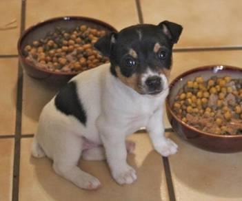 Mka jack russell pup *feb18