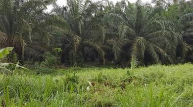 Iskandar pontian parit jawa palm tree land for new owner