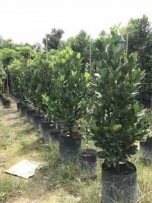 Garcinia Subelliptica (Happiness Tree)