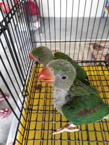 Burung Alexander parakeet hand feed siap lesen