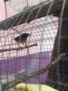 Burung cantik rare
