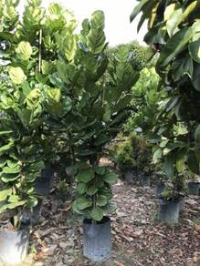 Ficus Lyrata 2m OH (Multi trunk)