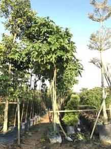 Solanum Macranthum (Tree)