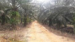 Oil palm land bout 187.8 acres at Hulu Selangor, Selangor is for SALE