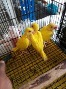 Burung Indian ring neck lutino hand feed siap lese