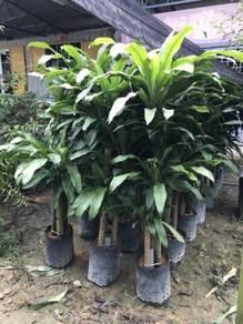 Dracaena Fragrans (Indoor Plant)