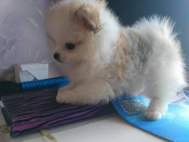 Teacup amazing Pomeranian puppies