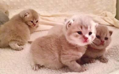Baby shorthair kittens