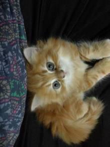 Orange tabby kitten mainecoon + persian
