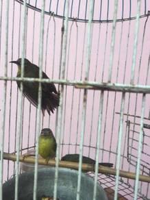 Burung myang klpa sunbird cantik