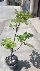 Conadria Figs / Pokok tin