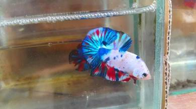 Show grade fancy betta ikan laga hmpk