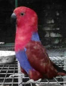 Mencari parrot electus hilang