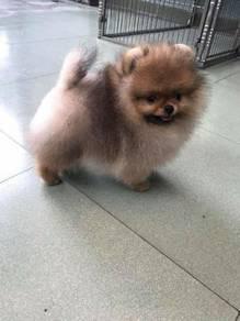 Pomeranian pom mka
