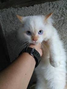 Kitten untuk di lepaskan