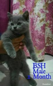 British Short Hair BSH