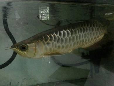 Ikan arowana (ikan kelisa)