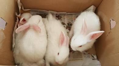Arnab rabbit untuk dijual murah
