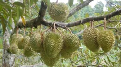 Tanah dusun durian besar di Kedah