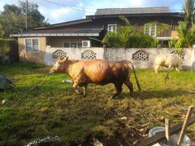 Lembu charolais bunting
