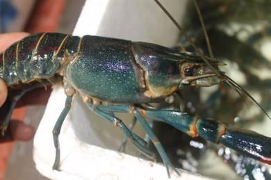 Red Claw Lobster, Lobster Air Tawar, LAT