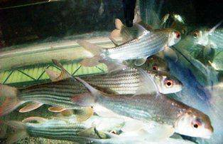 Ikan Temoleh, Temelian, Probarbus Jullieni