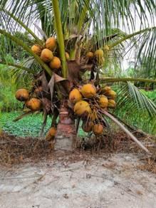 Benih kelapa seratus/sgg tulen