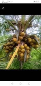 Benih kelapa sgg cn16 / matag tua