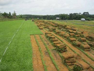New Rumput cowgrass axonopus compressus gred A
