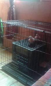 Burung Tekukur Jawa