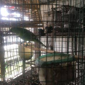 Burung daun porong