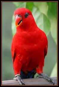 Burung parrot redlory