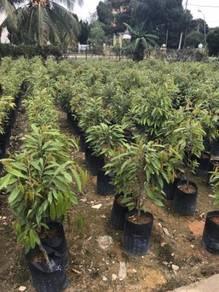 D197 Pokok Durian Musang King