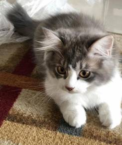 Semi flat Persian Cat