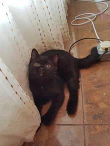 Cat - British shorthair mix Persian ( Minnie )