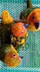 Sun conure burung parrot