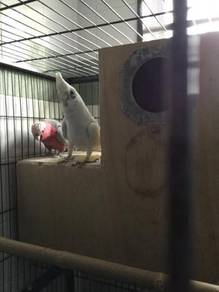 Cockatoo pair for sale (little corella and galah )