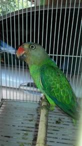 Burung puling