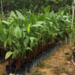 Thalia Geniculata (Aquatic Plant)