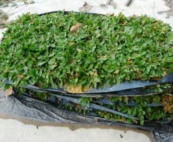 Rumput mutiara direct ladang