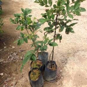 Pokok Rambutan (Anak Sekolah)