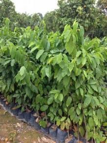 Baphia Nitida (Pokok Pagar)