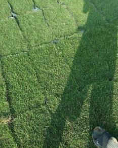 Philipin grass murah direct ladang