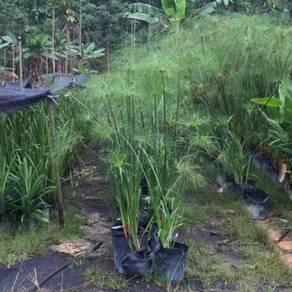 Cyperus Papyrus (Aquatic Plant)