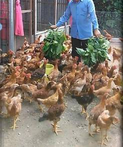 Ketum Ayam Pengganti Dedak