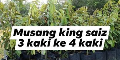 Anak pokok musang king 3 ke 4 kaki