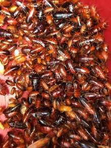 Turkistan Roach and Dubia Roach