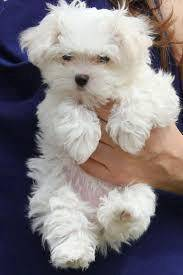 High quality male Shi-tzu puppy