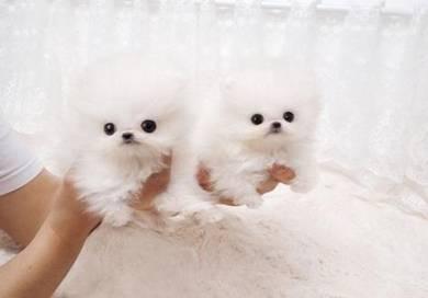 MKA Pomeranian Tiny size
